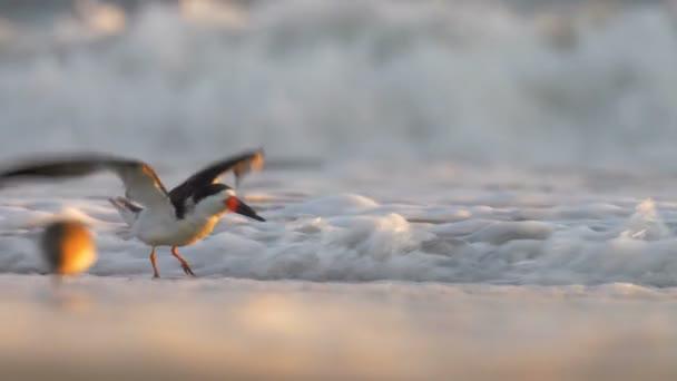 Skimmer ruht auf Sandstrand, Cape May, Usa