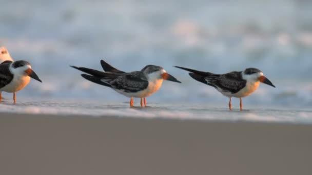 Skimmers Ruhe am Sandstrand, Kap Mai, USA
