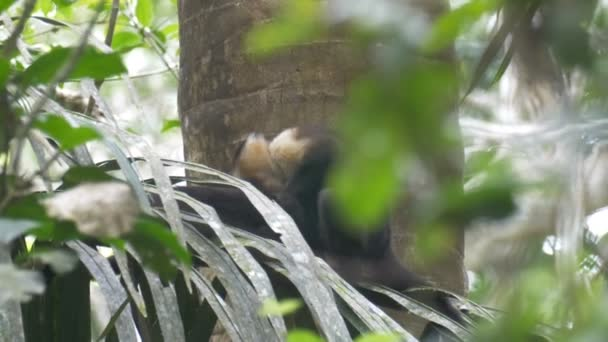 White faced Capuchin sitting on tree in Rainforest, Pipeline Road, Panama