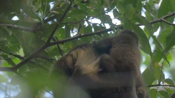 Howler monkey and baby on tree in Rainforest Cerro Hoya national park, Panama