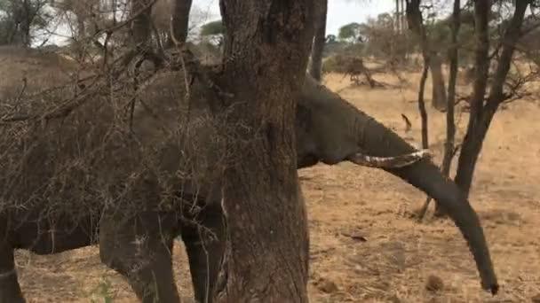 Slon v tarangire national park Tanzanie