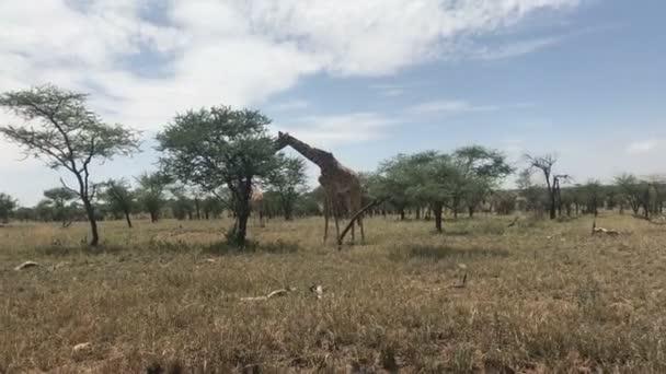 Žirafa na Serengeti národní park Tanzanie