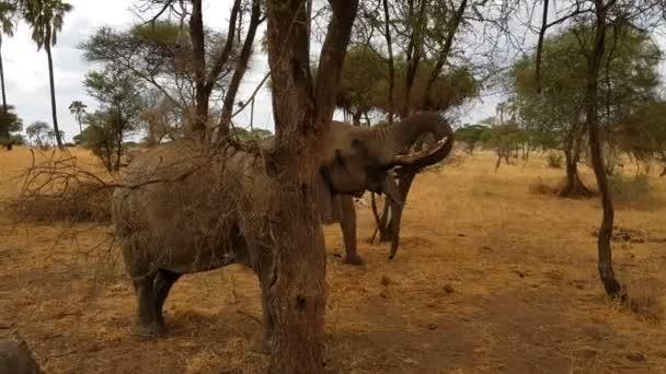 Elefánt játék meghajtót a tartalék tarangire, Tanzánia