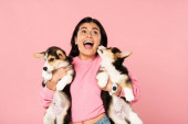 excited girl holding Welsh Corgi puppies, isolated on pink