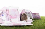selective focus of funny hamster near euro banknotes on green grass isolated on white, sports betting concept