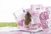 selective focus of furry hamster on euro banknotes isolated on white, sports betting concept
