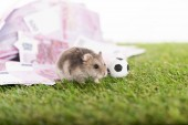 Photo selective focus of little hamster near euro banknotes and toy soccer ball isolated on white, sports betting concept