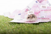 Photo selective focus of little hamster on euro isolated on white, sports betting concept