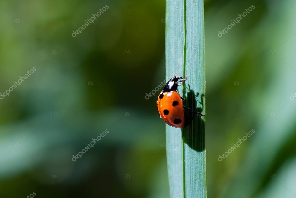 Ladybug climbs a blade of grass up on a green background, casts a shadow