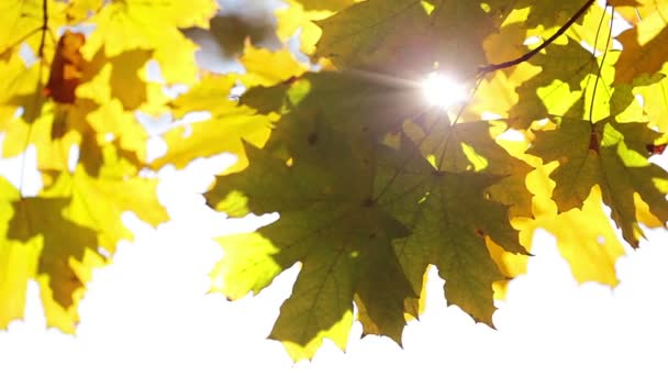 Sun and maple leaves