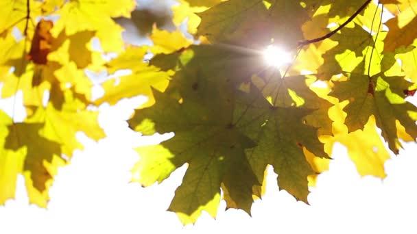 slunce a javorového listí