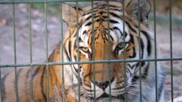 La tigre siberiana dietro le sbarre (Panthera tigris altaica).