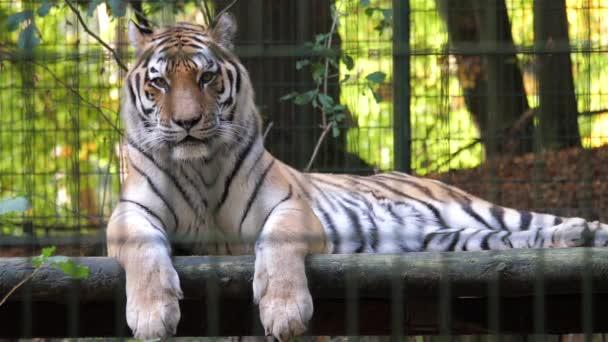 Tygr ussurijský za mřížemi. Volně žijící zvířata v zajetí