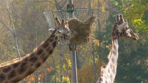 Rotschild zsiráf (Giraffa zsiráf rothschildi)