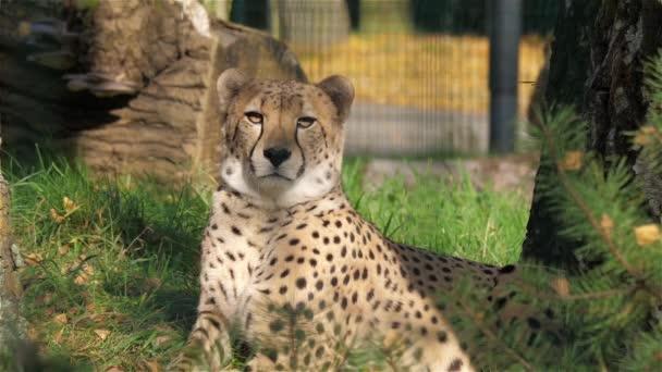 Gepard. Acinonyx jubatus
