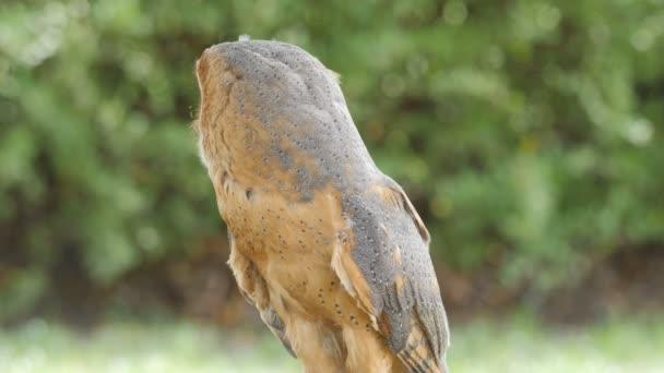 Schleiereule. Tyto Alba. Bird Of prey