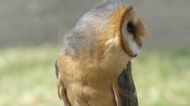 Gyöngybagoly portré. Tyto alba. Ragadozó madár.