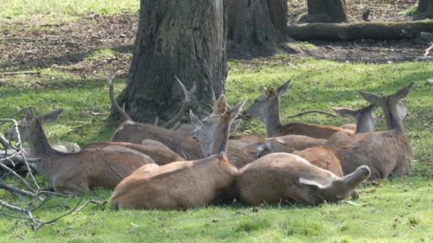 Skupina jelen odpočívají v lese. Jelen a dělá. Cervus Elaphus