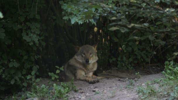A szürke Farkas-erdőben. Canis lupus