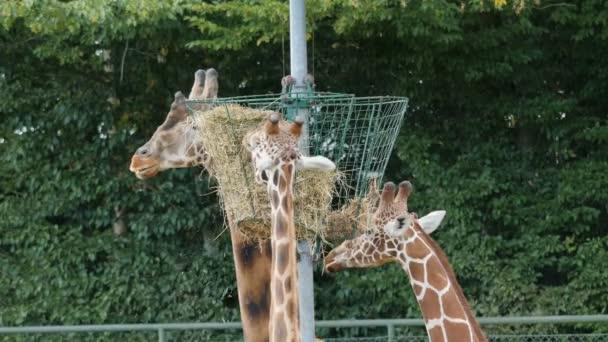Három zsiráfok eszik szénát. Giraffa zsiráf rothschildi