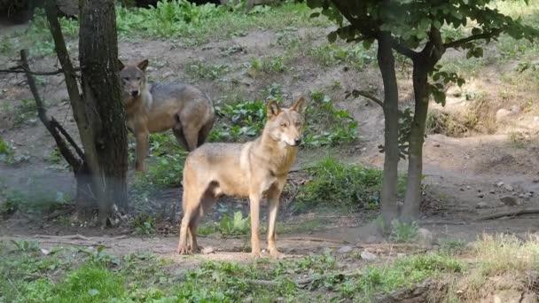 Két szürke Farkas-erdőben. Canis lupus