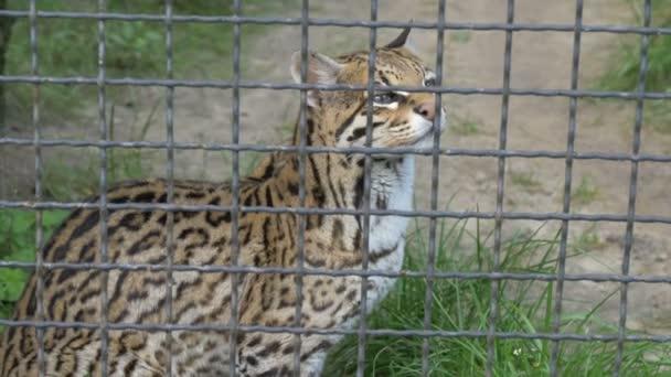 Ocelot. Leopardus pardalis. Volně žijící zvířata v zajetí