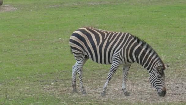 Zebra legelőn. Equus burchelli chapmanni