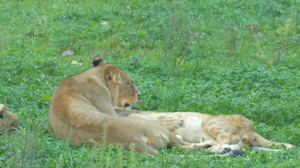Female lion is resting with her offspring