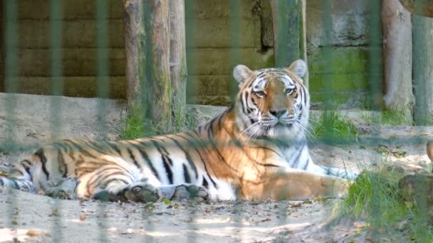 La tigre siberiana (Panthera tigris altaica). Animali selvatici in cattività