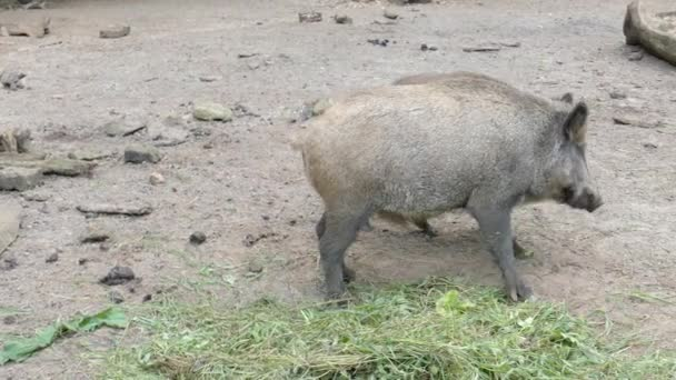 The wild boars are eating (Sus scrofa)