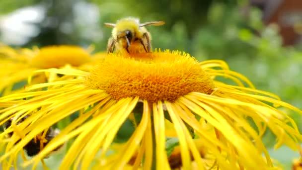 Čmelák sběru nektaru. Makro snímek