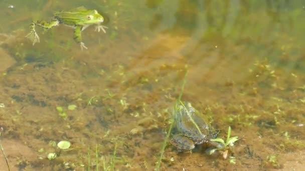 Der essbare Frosch. Rana Esculenta. Grasfrosch Wasser. Grüner Frosch