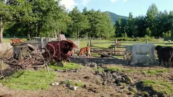 Krávy na farmě. Zemědělství. Hospodářská zvířata