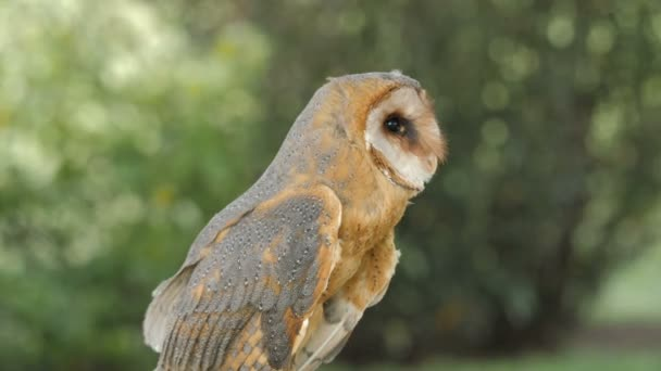 Tyto alba. Barn owl. Bird of prey