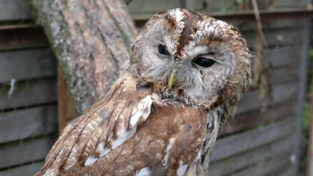 The tawny owl or brown owl (Strix aluco)