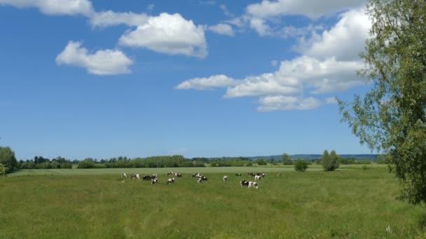 Idylická krajina krav na zelené louce