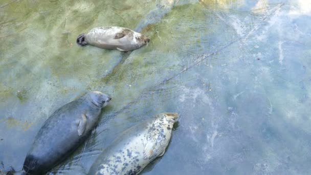 The grey seal. Halichoerus grypus. Two females and baby seal