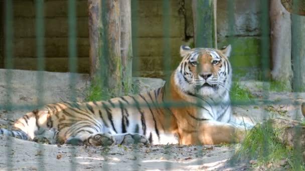 A szibériai tigris (Panthera tigris altaica). Vadon élő állatok fogságban