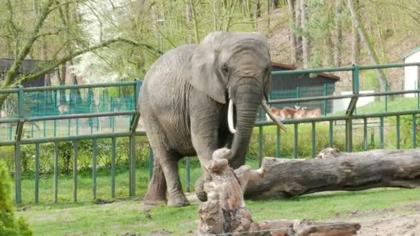 The African bush elephant at zoo (loxodonta africana)