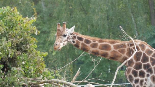 Rotschild zsiráf enni. Giraffa zsiráf rothschildi
