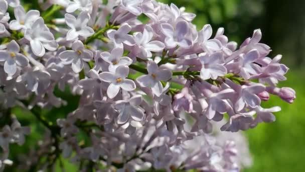 Fialovými květy. Šeřík obecný
