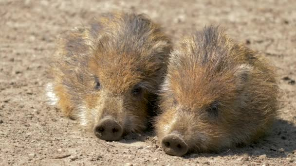 Piglets of wild boars are resting. Sus scrofa. Young, baby wild boars.