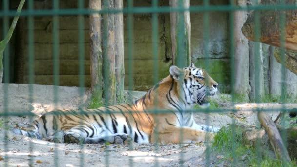 The Siberian tiger (Panthera tigris altaica). Wild animals in captivity