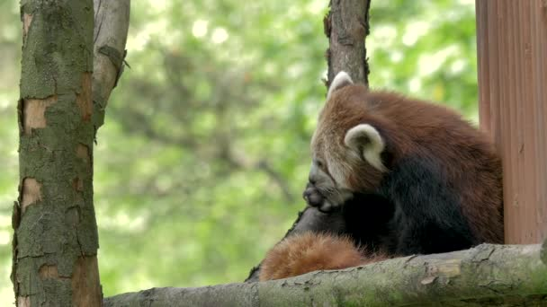 The red panda is cleaning paws. Ailurus fulgens.