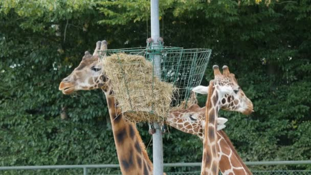Giraffes are eating hay. Giraffa camelopardalis rothschildi