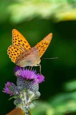 Argynnis paphia thistle and green background