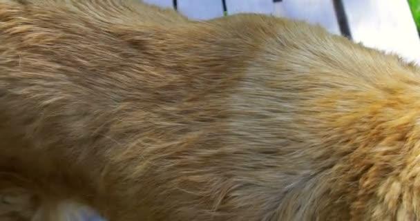 Detailní pohled na kožešinovou kůži starého zlatého psa extraktoru
