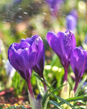 tender crocuses bloom in spring