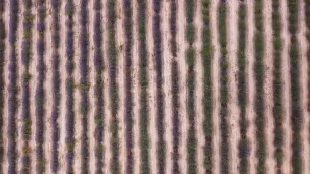 Levandulová pole při západu slunce