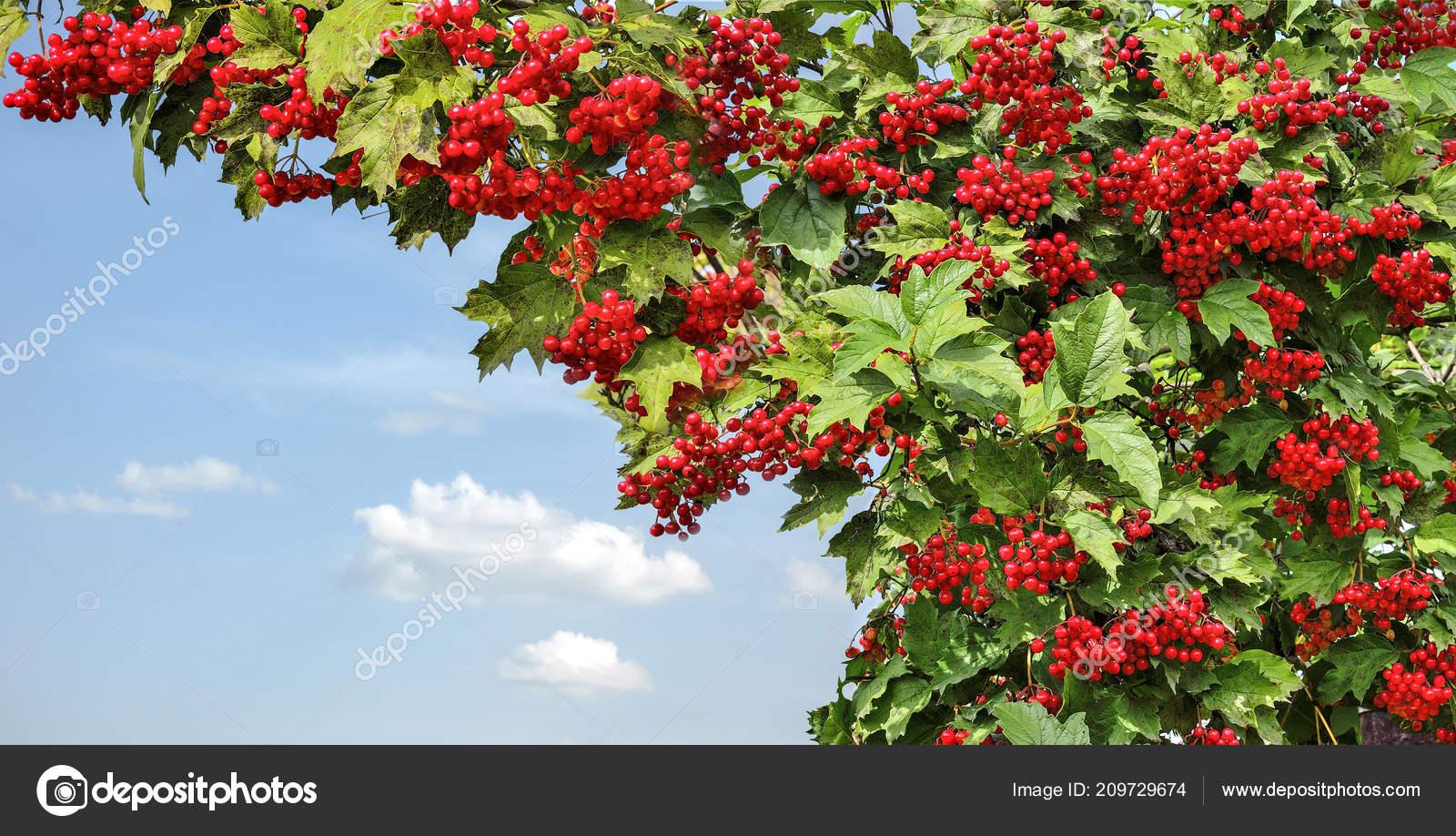 Schneeball Viburnum Opulus Strauch Mit Roten Beeren Und Grünen